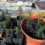 Esquejes de tejo plantados