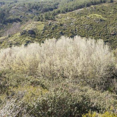 alamaeda de populus tremula