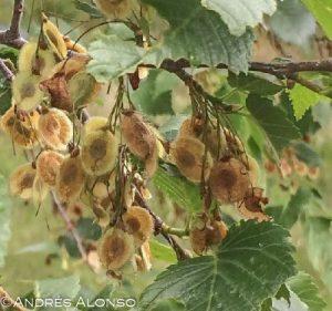 semillas de ulmus laevis