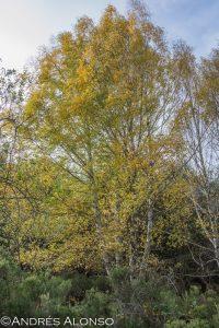 abedul betula pubescens