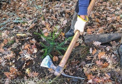plantando tejos