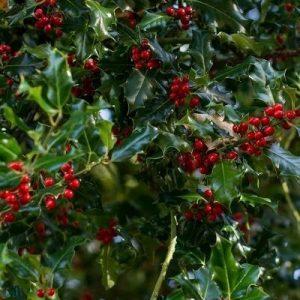 Acebo (Ilex aquifolium) con frutos rojos