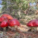 Setas y hongos de la península ibérica