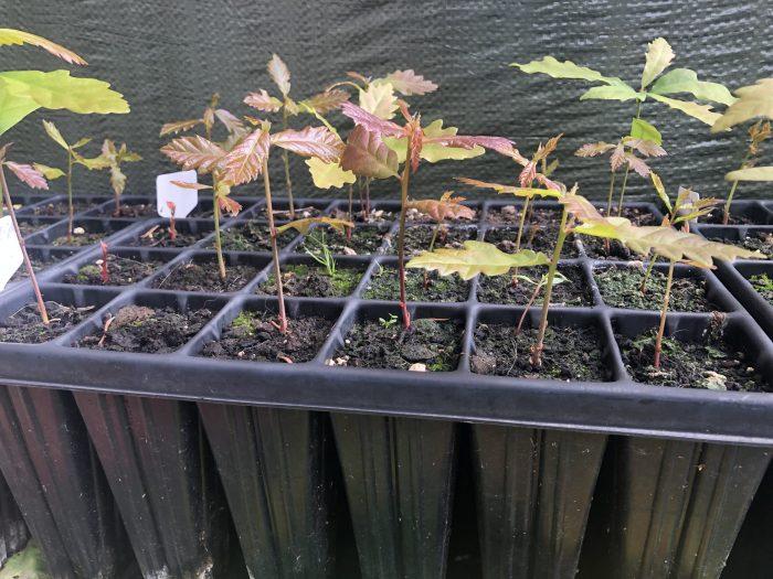 Quercus Petraea germinados