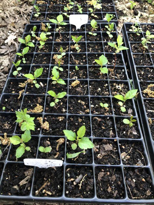 Sorbus latifolia x torminalis germinando