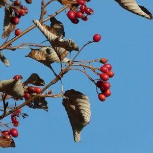Frutos de mostajo (Sorbus aria)
