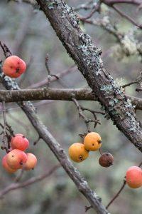Manzano silvestre o maíllo con manzanas