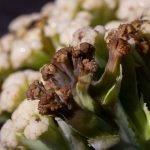 Erwinia bacteria